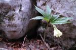 """Quirlblättrige Zahnwurz - Dentaria enneaphyllos; Bildquelle: © <a href=""""https://www.pflanzen-deutschland.de/quellen.php?bild_quelle=Dr. med. Frank Meyer, Nürnberg"""">Dr. med. Frank Meyer, Nürnberg</a> - <b>All rights reserved</b>"""