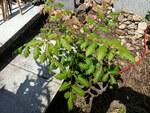 """Blasenbaum - Koelreuteria paniculata; Bildquelle: © <a href=""""https://www.pflanzen-deutschland.de/quellen.php?bild_quelle=man lernt nie aus, Vielen Dank"""">man lernt nie aus, Vielen Dank</a> - <b>All rights reserved</b>"""