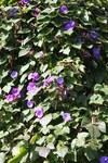 """Purpurwinde - Ipomoea violacea; Bildquelle: <a href=""""https://www.pflanzen-deutschland.de/quellen.php?bild_quelle=Wikipedia User Überraschungsbilder"""">Wikipedia User Überraschungsbilder</a>; Bildlizenz: <a href=""""https://creativecommons.org/publicdomain/zero/1.0/deed.de"""" target=_blank title=""""CC0 1.0 Universell (CC0 1.0)"""">CC0 1.0</a>; <br>Wiki Commons Bildbeschreibung: <a href=""""https://commons.wikimedia.org/wiki/File:Ipomoea-Wand.jpg"""" target=_blank title=""""https://commons.wikimedia.org/wiki/File:Ipomoea-Wand.jpg"""">https://commons.wikimedia.org/wiki/File:Ipomoea-Wand.jpg</a>"""