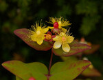 "Duftloses Johanniskraut - Hypericum inodorum; Bildquelle: <a href=""https://www.pflanzen-deutschland.de/quellen.php?bild_quelle=Wikipedia User Wouterhagens"">Wikipedia User Wouterhagens</a>; Bildlizenz: <a href=""https://creativecommons.org/licenses/by-sa/3.0/deed.de"" target=_blank title=""Namensnennung - Weitergabe unter gleichen Bedingungen 3.0 Unported (CC BY-SA 3.0)"">CC BY-SA 3.0</a>; <br>Wiki Commons Bildbeschreibung: <a href=""https://commons.wikimedia.org/wiki/File:Hypericum_inodorum_Magical_Passion_B.jpg"" target=_blank title=""https://commons.wikimedia.org/wiki/File:Hypericum_inodorum_Magical_Passion_B.jpg"">https://commons.wikimedia.org/wiki/File:Hypericum_inodorum_Magical_Passion_B.jpg</a>"