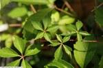 """Fünfblättrige Junfernrebe - Parthenocissus quinquefolia (L.); Bildquelle: <a href=""""https://www.pflanzen-deutschland.de/quellen.php?bild_quelle=Wikipedia User David Stang"""">Wikipedia User David Stang</a>; Bildlizenz: <a href=""""https://creativecommons.org/licenses/by/4.0/deed.de"""" target=_blank title=""""Namensnennung 4.0 International (CC BY 4.0)"""">CC BY 4.0</a>; <br>Wiki Commons Bildbeschreibung: <a href=""""https://commons.wikimedia.org/wiki/File:Parthenocissus_quinquefolia_3zz.jpg"""" target=_blank title=""""https://commons.wikimedia.org/wiki/File:Parthenocissus_quinquefolia_3zz.jpg"""">https://commons.wikimedia.org/wiki/File:Parthenocissus_quinquefolia_3zz.jpg</a>"""