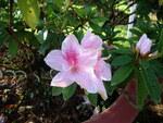 """Indische Azalee - Rhododendron simsii; Bildquelle: <a href=""""https://www.pflanzen-deutschland.de/quellen.php?bild_quelle=Wikipedia User Prenn"""">Wikipedia User Prenn</a>; Bildlizenz: <a href=""""https://creativecommons.org/licenses/by-sa/3.0/deed.de"""" target=_blank title=""""Namensnennung - Weitergabe unter gleichen Bedingungen 3.0 Unported (CC BY-SA 3.0)"""">CC BY-SA 3.0</a>; <br>Wiki Commons Bildbeschreibung: <a href=""""https://commons.wikimedia.org/wiki/File:Rhododendron_simsii_(4).JPG"""" target=_blank title=""""https://commons.wikimedia.org/wiki/File:Rhododendron_simsii_(4).JPG"""">https://commons.wikimedia.org/wiki/File:Rhododendron_simsii_(4).JPG</a>"""