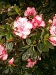 """Indische Azalee - Rhododendron simsii; Bildquelle: <a href=""""https://www.pflanzen-deutschland.de/quellen.php?bild_quelle=Wikipedia User BotBln"""">Wikipedia User BotBln</a>; Bildlizenz: <a href=""""https://creativecommons.org/licenses/by-sa/3.0/deed.de"""" target=_blank title=""""Namensnennung - Weitergabe unter gleichen Bedingungen 3.0 Unported (CC BY-SA 3.0)"""">CC BY-SA 3.0</a>; <br>Wiki Commons Bildbeschreibung: <a href=""""https://commons.wikimedia.org/wiki/File:Rhododendron_simsii_LeopoldAstrid_BotGardBln271207.jpg"""" target=_blank title=""""https://commons.wikimedia.org/wiki/File:Rhododendron_simsii_LeopoldAstrid_BotGardBln271207.jpg"""">https://commons.wikimedia.org/wiki/File:Rhododendron_simsii_LeopoldAstrid_BotGardBln271207.jpg</a>"""