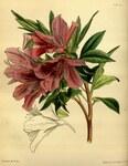 """Indische Azalee - Rhododendron simsii; Bildquelle: <a href=""""https://www.pflanzen-deutschland.de/quellen.php?bild_quelle=Wikipedia User Chris.urs-o"""">Wikipedia User Chris.urs-o</a>; Bildlizenz: <a href=""""https://creativecommons.org/publicdomain/zero/1.0/deed.de"""" target=_blank title=""""CC0 1.0 Universell (CC0 1.0)"""">CC0 1.0</a>; <br>Wiki Commons Bildbeschreibung: <a href=""""https://commons.wikimedia.org/wiki/File:Rhododendron_simsii_Paxton_070.jpg"""" target=_blank title=""""https://commons.wikimedia.org/wiki/File:Rhododendron_simsii_Paxton_070.jpg"""">https://commons.wikimedia.org/wiki/File:Rhododendron_simsii_Paxton_070.jpg</a>"""