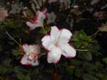 """Indische Azalee - Rhododendron simsii; Bildquelle: <a href=""""https://www.pflanzen-deutschland.de/quellen.php?bild_quelle=Wikipedia User Salicyna"""">Wikipedia User Salicyna</a>; Bildlizenz: <a href=""""https://creativecommons.org/licenses/by/4.0/deed.de"""" target=_blank title=""""Namensnennung 4.0 International (CC BY 4.0)"""">CC BY 4.0</a>; <br>Wiki Commons Bildbeschreibung: <a href=""""https://commons.wikimedia.org/wiki/File:Rhododendron_simsii_Sachsenstern_2017-05-31_2330.jpg"""" target=_blank title=""""https://commons.wikimedia.org/wiki/File:Rhododendron_simsii_Sachsenstern_2017-05-31_2330.jpg"""">https://commons.wikimedia.org/wiki/File:Rhododendron_simsii_Sachsenstern_2017-05-31_2330.jpg</a>"""