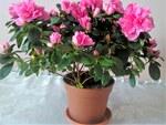 """Indische Azalee - Rhododendron simsii; Bildquelle: <a href=""""https://www.pflanzen-deutschland.de/quellen.php?bild_quelle=Wikipedia User DenesFeri"""">Wikipedia User DenesFeri</a>; Bildlizenz: <a href=""""https://creativecommons.org/licenses/by/4.0/deed.de"""" target=_blank title=""""Namensnennung 4.0 International (CC BY 4.0)"""">CC BY 4.0</a>; <br>Wiki Commons Bildbeschreibung: <a href=""""https://commons.wikimedia.org/wiki/File:Ericales_-_Rhododendron_simsii_cultivars_-_5.jpg"""" target=_blank title=""""https://commons.wikimedia.org/wiki/File:Ericales_-_Rhododendron_simsii_cultivars_-_5.jpg"""">https://commons.wikimedia.org/wiki/File:Ericales_-_Rhododendron_simsii_cultivars_-_5.jpg</a>"""