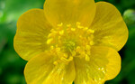 """Hahnenfuß - Ranunculus spec.; Bildquelle: <a href=""""https://www.pflanzen-deutschland.de/quellen.php?bild_quelle=Wikipedia User Fornax"""">Wikipedia User Fornax</a>; Bildlizenz: <a href=""""https://creativecommons.org/licenses/by-sa/3.0/deed.de"""" target=_blank title=""""Namensnennung - Weitergabe unter gleichen Bedingungen 3.0 Unported (CC BY-SA 3.0)"""">CC BY-SA 3.0</a>;"""