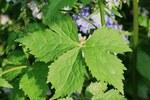 """Hahnenfuß - Ranunculus spec.; Bildquelle: <a href=""""https://www.pflanzen-deutschland.de/quellen.php?bild_quelle=Wikipedia User Josve05a"""">Wikipedia User Josve05a</a>; Bildlizenz: <a href=""""https://creativecommons.org/licenses/by-sa/2.0/deed.de"""" target=_blank title=""""Namensnennung - Weitergabe unter gleichen Bedingungen 2.0 Unported (CC BY-SA 2.0)"""">CC BY 2.0</a>;"""