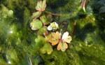 """Hahnenfuß - Ranunculus spec.; Bildquelle: <a href=""""https://www.pflanzen-deutschland.de/quellen.php?bild_quelle=Wikipedia User Martin Reith"""">Wikipedia User Martin Reith</a>; Bildlizenz: <a href=""""https://creativecommons.org/licenses/by-sa/3.0/deed.de"""" target=_blank title=""""Namensnennung - Weitergabe unter gleichen Bedingungen 3.0 Unported (CC BY-SA 3.0)"""">CC BY-SA 3.0</a>;"""