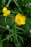 """Hahnenfuß - Ranunculus spec.; Bildquelle: <a href=""""https://www.pflanzen-deutschland.de/quellen.php?bild_quelle=Wikipedia User Reytan"""">Wikipedia User Reytan</a>; Bildlizenz: <a href=""""https://creativecommons.org/licenses/by-sa/3.0/deed.de"""" target=_blank title=""""Namensnennung - Weitergabe unter gleichen Bedingungen 3.0 Unported (CC BY-SA 3.0)"""">CC BY-SA 3.0</a>; <br>Wiki Commons Bildbeschreibung: <a href=""""https://commons.wikimedia.org/wiki/File:Ranunculus_auricomis.jpg"""" target=_blank title=""""https://commons.wikimedia.org/wiki/File:Ranunculus_auricomis.jpg"""">https://commons.wikimedia.org/wiki/File:Ranunculus_auricomis.jpg</a>"""
