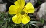"""Hahnenfuß - Ranunculus spec.; Bildquelle: <a href=""""https://www.pflanzen-deutschland.de/quellen.php?bild_quelle=Wikipedia User Selso"""">Wikipedia User Selso</a>; Bildlizenz: <a href=""""https://creativecommons.org/licenses/by-sa/3.0/deed.de"""" target=_blank title=""""Namensnennung - Weitergabe unter gleichen Bedingungen 3.0 Unported (CC BY-SA 3.0)"""">CC BY-SA 3.0</a>;"""