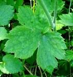"""Hahnenfuß - Ranunculus spec.; Bildquelle: <a href=""""https://www.pflanzen-deutschland.de/quellen.php?bild_quelle= Wikipedia User Fornax""""> Wikipedia User Fornax</a>; Bildlizenz: <a href=""""https://creativecommons.org/licenses/by-sa/3.0/deed.de"""" target=_blank title=""""Namensnennung - Weitergabe unter gleichen Bedingungen 3.0 Unported (CC BY-SA 3.0)"""">CC BY-SA 3.0</a>;"""