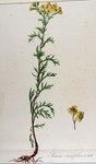 """Raukenblättriges Greiskraut - Senecio erucifolius; Bildquelle: <a href=""""https://www.pflanzen-deutschland.de/quellen.php?bild_quelle=Flora Batava of Afbeeldingen en Beschrijving von Nederlandsche gewassen, XII. Deel. 1865"""">Flora Batava of Afbeeldingen en Beschrijving von Nederlandsche gewassen, XII. Deel. 1865</a>; Bildlizenz: <a href=""""https://creativecommons.org/licenses/by-sa/3.0/deed.de"""" target=_blank title=""""Namensnennung - Weitergabe unter gleichen Bedingungen 3.0 Unported (CC BY-SA 3.0)"""">CC BY-SA 3.0</a>;"""