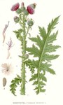 """Krause Distel - Carduus crispus; Bildquelle: <a href=""""https://www.pflanzen-deutschland.de/quellen.php?bild_quelle=Carl Axel Magnus Lindman Bilder ur Nordens Flora 1901-1905"""">Carl Axel Magnus Lindman Bilder ur Nordens Flora 1901-1905</a>; Bildlizenz: <a href=""""https://creativecommons.org/licenses/publicdomain/deed.de"""" target=_blank title=""""Public Domain"""">Public Domain</a>;"""