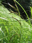 "Schlank-Segge - Carex acuta; Bildquelle: <a href=""https://www.pflanzen-deutschland.de/quellen.php?bild_quelle=Wikipedia User Don Pedro28"">Wikipedia User Don Pedro28</a>; Bildlizenz: <a href=""https://creativecommons.org/licenses/by-sa/3.0/deed.de"" target=_blank title=""Namensnennung - Weitergabe unter gleichen Bedingungen 3.0 Unported (CC BY-SA 3.0)"">CC BY-SA 3.0</a>; <br>Wiki Commons Bildbeschreibung: <a href=""https://commons.wikimedia.org/wiki/File:Carex_acuta1.JPG"" target=_blank title=""https://commons.wikimedia.org/wiki/File:Carex_acuta1.JPG"">https://commons.wikimedia.org/wiki/File:Carex_acuta1.JPG</a>"