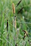 """Sumpf-Segge - Carex acutiformis; Bildquelle: <a href=""""https://www.pflanzen-deutschland.de/quellen.php?bild_quelle=""""></a>; Bildlizenz: <a href=""""https://creativecommons.org/publicdomain/zero/1.0/deed.de"""" target=_blank title=""""CC0 1.0 Universell (CC0 1.0)"""">CC0 1.0</a>; <br>Wiki Commons Bildbeschreibung: <a href=""""https://commons.wikimedia.org/wiki/File:Carex_acutiformis_Kiev1.JPG"""" target=_blank title=""""https://commons.wikimedia.org/wiki/File:Carex_acutiformis_Kiev1.JPG"""">https://commons.wikimedia.org/wiki/File:Carex_acutiformis_Kiev1.JPG</a>"""
