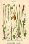 """Weiße Segge - Carex alba; Bildquelle: <a href=""""https://www.pflanzen-deutschland.de/quellen.php?bild_quelle=Deutschlands Flora in Abbildungen 1796"""">Deutschlands Flora in Abbildungen 1796</a>; Bildlizenz: <a href=""""https://creativecommons.org/licenses/publicdomain/deed.de"""" target=_blank title=""""Public Domain"""">Public Domain</a>;"""