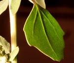 """Weißer Gänsefuß - Chenopodium album; Bildquelle: <a href=""""https://www.pflanzen-deutschland.de/quellen.php?bild_quelle=Wikipedia User Enrico Blasutto"""">Wikipedia User Enrico Blasutto</a>; Bildlizenz: <a href=""""https://creativecommons.org/licenses/by-sa/3.0/deed.de"""" target=_blank title=""""Namensnennung - Weitergabe unter gleichen Bedingungen 3.0 Unported (CC BY-SA 3.0)"""">CC BY-SA 3.0</a>; <br>Wiki Commons Bildbeschreibung: <a href=""""https://commons.wikimedia.org/wiki/File:Chenopodium_album_ENBLA04.jpg"""" target=_blank title=""""https://commons.wikimedia.org/wiki/File:Chenopodium_album_ENBLA04.jpg"""">https://commons.wikimedia.org/wiki/File:Chenopodium_album_ENBLA04.jpg</a>"""