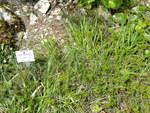 """Monte Baldo-Segge - Carex baldensis; Bildquelle: <a href=""""https://www.pflanzen-deutschland.de/quellen.php?bild_quelle=Wikipedia User Daderot"""">Wikipedia User Daderot</a>; Bildlizenz: <a href=""""https://creativecommons.org/licenses/publicdomain/deed.de"""" target=_blank title=""""Public Domain"""">Public Domain</a>;"""