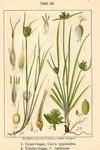 """Monte Baldo-Segge - Carex baldensis; Bildquelle: <a href=""""https://www.pflanzen-deutschland.de/quellen.php?bild_quelle=Deutschlands Flora in Abbildungen, Johann Georg Sturm 1796"""">Deutschlands Flora in Abbildungen, Johann Georg Sturm 1796</a>; Bildlizenz: <a href=""""https://creativecommons.org/licenses/publicdomain/deed.de"""" target=_blank title=""""Public Domain"""">Public Domain</a>;"""