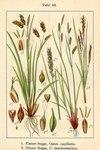 "Kurzährige Segge - Carex brachystachys; Bildquelle: <a href=""https://www.pflanzen-deutschland.de/quellen.php?bild_quelle=Deutschlands Flora in Abbildungen 1796"">Deutschlands Flora in Abbildungen 1796</a>; Bildlizenz: <a href=""https://creativecommons.org/licenses/publicdomain/deed.de"" target=_blank title=""Public Domain"">Public Domain</a>;"