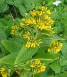 "Gewöhnlicher Gilbweiderich - Lysimachia vulgaris; Bildquelle: <a href=""https://www.pflanzen-deutschland.de/quellen.php?bild_quelle=Wikipedia User Fabelfroh"">Wikipedia User Fabelfroh</a>; Bildlizenz: <a href=""https://creativecommons.org/licenses/by-sa/3.0/deed.de"" target=_blank title=""Namensnennung - Weitergabe unter gleichen Bedingungen 3.0 Unported (CC BY-SA 3.0)"">CC BY-SA 3.0</a>; <br>Wiki Commons Bildbeschreibung: <a href=""https://commons.wikimedia.org/wiki/File:Lysimachia_vulgaris.jpeg"" target=_blank title=""https://commons.wikimedia.org/wiki/File:Lysimachia_vulgaris.jpeg"">https://commons.wikimedia.org/wiki/File:Lysimachia_vulgaris.jpeg</a>"