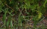 """Haarstielige Segge - Carex capillaris; Bildquelle: <a href=""""https://www.pflanzen-deutschland.de/quellen.php?bild_quelle=Wikipedia User Rrburke"""">Wikipedia User Rrburke</a>; Bildlizenz: <a href=""""https://creativecommons.org/licenses/by-sa/3.0/deed.de"""" target=_blank title=""""Namensnennung - Weitergabe unter gleichen Bedingungen 3.0 Unported (CC BY-SA 3.0)"""">CC BY-SA 3.0</a>; <br>Wiki Commons Bildbeschreibung: <a href=""""https://commons.wikimedia.org/wiki/File:Carex_capillaris_InsectImages_5548466_(cropped).jpg"""" target=_blank title=""""https://commons.wikimedia.org/wiki/File:Carex_capillaris_InsectImages_5548466_(cropped).jpg"""">https://commons.wikimedia.org/wiki/File:Carex_capillaris_InsectImages_5548466_(cropped).jpg</a>"""