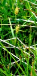 """Kopf-Segge - Carex capitata; Bildquelle: <a href=""""https://www.pflanzen-deutschland.de/quellen.php?bild_quelle=Wikipedia User Lazaregagnidze"""">Wikipedia User Lazaregagnidze</a>; Bildlizenz: <a href=""""https://creativecommons.org/licenses/by-sa/3.0/deed.de"""" target=_blank title=""""Namensnennung - Weitergabe unter gleichen Bedingungen 3.0 Unported (CC BY-SA 3.0)"""">CC BY-SA 3.0</a>; <br>Wiki Commons Bildbeschreibung: <a href=""""https://commons.wikimedia.org/wiki/File:Carex_capitata_Capitate_Sedge_%E1%83%97%E1%83%90%E1%83%95%E1%83%9C%E1%83%90%E1%83%A1%E1%83%99%E1%83%95%E1%83%90_%E1%83%98%E1%83%A1%E1%83%9A%E1%83%98.JPG"""" target=_blank title=""""https://commons.wikimedia.org/wiki/File:Carex_capitata_Capitate_Sedge_%E1%83%97%E1%83%90%E1%83%95%E1%83%9C%E1%83%90%E1%83%A1%E1%83%99%E1%83%95%E1%83%90_%E1%83%98%E1%83%A1%E1%83%9A%E1%83%98.JPG"""">https://commons.wikimedia.org/wiki/File:Carex_capitata_Capitate_Sedge_%E1%83%97%E1%83%90%E1%83%95%E1%83%9C%E1%83%90%E1%83%A1%E1%83%99%E1%83%95%E1%83%90_%E1%83%98%E1%83%A1%E1%83%9A%E1%83%98.JPG</a>"""