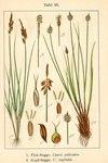 """Kopf-Segge - Carex capitata; Bildquelle: <a href=""""https://www.pflanzen-deutschland.de/quellen.php?bild_quelle=Deutschlands Flora in Abbildungen 1796"""">Deutschlands Flora in Abbildungen 1796</a>; Bildlizenz: <a href=""""https://creativecommons.org/licenses/publicdomain/deed.de"""" target=_blank title=""""Public Domain"""">Public Domain</a>;"""
