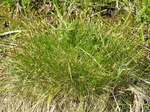 "Davalls Segge - Carex davalliana; Bildquelle: <a href=""https://www.pflanzen-deutschland.de/quellen.php?bild_quelle=Wikipedia User Don Pedro28"">Wikipedia User Don Pedro28</a>; Bildlizenz: <a href=""https://creativecommons.org/licenses/by-sa/3.0/deed.de"" target=_blank title=""Namensnennung - Weitergabe unter gleichen Bedingungen 3.0 Unported (CC BY-SA 3.0)"">CC BY-SA 3.0</a>; <br>Wiki Commons Bildbeschreibung: <a href=""http://commons.wikimedia.org/wiki/File:Carex_davalliana.JPG"" target=_blank title=""http://commons.wikimedia.org/wiki/File:Carex_davalliana.JPG"">http://commons.wikimedia.org/wiki/File:Carex_davalliana.JPG</a>"