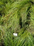 """Armblütige Segge - Carex pauciflora; Bildquelle: <a href=""""https://www.pflanzen-deutschland.de/quellen.php?bild_quelle=Wikipedia User Daderot"""">Wikipedia User Daderot</a>; Bildlizenz: <a href=""""https://creativecommons.org/licenses/by-sa/3.0/deed.de"""" target=_blank title=""""Namensnennung - Weitergabe unter gleichen Bedingungen 3.0 Unported (CC BY-SA 3.0)"""">CC BY-SA 3.0</a>;"""