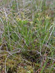 "Armblütige Segge - Carex pauciflora; Bildquelle: <a href=""https://www.pflanzen-deutschland.de/quellen.php?bild_quelle=Wikipedia User Mattivirtala"">Wikipedia User Mattivirtala</a>; Bildlizenz: <a href=""https://creativecommons.org/licenses/publicdomain/deed.de"" target=_blank title=""Public Domain"">Public Domain</a>;"