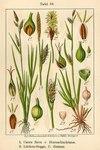 "Entferntährige Segge - Carex distans; Bildquelle: <a href=""https://www.pflanzen-deutschland.de/quellen.php?bild_quelle=Deutschlands Flora in Abbildungen 1796"">Deutschlands Flora in Abbildungen 1796</a>; Bildlizenz: <a href=""https://creativecommons.org/licenses/publicdomain/deed.de"" target=_blank title=""Public Domain"">Public Domain</a>;"