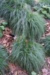 """Unterbrochenährige Segge - Carex divulsa; Bildquelle: <a href=""""https://www.pflanzen-deutschland.de/quellen.php?bild_quelle=Wikipedia User Daderot"""">Wikipedia User Daderot</a>; Bildlizenz: <a href=""""https://creativecommons.org/publicdomain/zero/1.0/deed.de"""" target=_blank title=""""CC0 1.0 Universell (CC0 1.0)"""">CC0 1.0</a>; <br>Wiki Commons Bildbeschreibung: <a href=""""https://commons.wikimedia.org/wiki/File:Carex_divulsa_-_Leaning_Pine_Arboretum_-_DSC05828.JPG"""" target=_blank title=""""https://commons.wikimedia.org/wiki/File:Carex_divulsa_-_Leaning_Pine_Arboretum_-_DSC05828.JPG"""">https://commons.wikimedia.org/wiki/File:Carex_divulsa_-_Leaning_Pine_Arboretum_-_DSC05828.JPG</a>"""