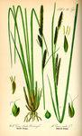 """Steife Segge - Carex elata; Bildquelle: <a href=""""https://www.pflanzen-deutschland.de/quellen.php?bild_quelle=Prof. Dr. Otto Wilhelm Thome Flora von Deutschland, Österreich und der Schweiz 1885, Gera, Germany"""">Prof. Dr. Otto Wilhelm Thome Flora von Deutschland, Österreich und der Schweiz 1885, Gera, Germany</a>; Bildlizenz: <a href=""""https://creativecommons.org/licenses/publicdomain/deed.de"""" target=_blank title=""""Public Domain"""">Public Domain</a>;"""