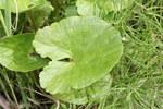 """Sumpfdotterblume - Caltha palustris; Bildquelle: <a href=""""https://www.pflanzen-deutschland.de/quellen.php?bild_quelle=Walter Siegmund talk"""">Walter Siegmund talk</a>; Bildlizenz: <a href=""""https://creativecommons.org/licenses/by-sa/3.0/deed.de"""" target=_blank title=""""Namensnennung - Weitergabe unter gleichen Bedingungen 3.0 Unported (CC BY-SA 3.0)"""">CC BY-SA 3.0</a>;"""