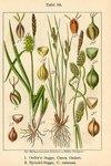 "Strand-Segge - Carex extensa; Bildquelle: <a href=""https://www.pflanzen-deutschland.de/quellen.php?bild_quelle=Deutschlands Flora in Abbildungen 1796"">Deutschlands Flora in Abbildungen 1796</a>; Bildlizenz: <a href=""https://creativecommons.org/licenses/publicdomain/deed.de"" target=_blank title=""Public Domain"">Public Domain</a>;"