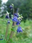 """Gewöhnliche Akelei - Aquilegia vulgaris; Bildquelle: © <a href=""""https://www.pflanzen-deutschland.de/quellen.php?bild_quelle=Bönisch 2005"""">Bönisch 2005</a> - <b>All rights reserved</b>"""