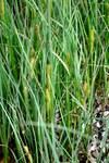"""Behaarte Segge - Carex hirta; Bildquelle: <a href=""""https://www.pflanzen-deutschland.de/quellen.php?bild_quelle=Wikipedia User Lazaregagnidze"""">Wikipedia User Lazaregagnidze</a>; Bildlizenz: <a href=""""https://creativecommons.org/licenses/by-sa/3.0/deed.de"""" target=_blank title=""""Namensnennung - Weitergabe unter gleichen Bedingungen 3.0 Unported (CC BY-SA 3.0)"""">CC BY-SA 3.0</a>; <br>Wiki Commons Bildbeschreibung: <a href=""""https://commons.wikimedia.org/wiki/File:Carex_hirta_Hairy_Sedge_%E1%83%A8%E1%83%94%E1%83%91%E1%83%A3%E1%83%A1%E1%83%A3%E1%83%9A%E1%83%98_%E1%83%98%E1%83%A1%E1%83%9A%E1%83%98.JPG"""" target=_blank title=""""https://commons.wikimedia.org/wiki/File:Carex_hirta_Hairy_Sedge_%E1%83%A8%E1%83%94%E1%83%91%E1%83%A3%E1%83%A1%E1%83%A3%E1%83%9A%E1%83%98_%E1%83%98%E1%83%A1%E1%83%9A%E1%83%98.JPG"""">https://commons.wikimedia.org/wiki/File:Carex_hirta_Hairy_Sedge_%E1%83%A8%E1%83%94%E1%83%91%E1%83%A3%E1%83%A1%E1%83%A3%E1%83%9A%E1%83%98_%E1%83%98%E1%83%A1%E1%83%9A%E1%83%98.JPG</a>"""