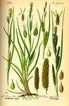 """Behaarte Segge - Carex hirta; Bildquelle: <a href=""""https://www.pflanzen-deutschland.de/quellen.php?bild_quelle=Prof. Dr. Otto Wilhelm Thome Flora von Deutschland, Österreich und der Schweiz 1885, Gera, Germany"""">Prof. Dr. Otto Wilhelm Thome Flora von Deutschland, Österreich und der Schweiz 1885, Gera, Germany</a>; Bildlizenz: <a href=""""https://creativecommons.org/licenses/publicdomain/deed.de"""" target=_blank title=""""Public Domain"""">Public Domain</a>;"""