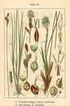 """Erd-Segge - Carex humilis; Bildquelle: <a href=""""https://www.pflanzen-deutschland.de/quellen.php?bild_quelle=Deutschlands Flora in Abbildungen 1796"""">Deutschlands Flora in Abbildungen 1796</a>; Bildlizenz: <a href=""""https://creativecommons.org/licenses/publicdomain/deed.de"""" target=_blank title=""""Public Domain"""">Public Domain</a>;"""