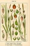 """Glatte Segge - Carex laevigata; Bildquelle: <a href=""""https://www.pflanzen-deutschland.de/quellen.php?bild_quelle=Deutschlands Flora in Abbildungen, Johann Georg Sturm 1796"""">Deutschlands Flora in Abbildungen, Johann Georg Sturm 1796</a>; Bildlizenz: <a href=""""https://creativecommons.org/licenses/publicdomain/deed.de"""" target=_blank title=""""Public Domain"""">Public Domain</a>;"""