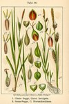 "Glatte Segge - Carex laevigata; Bildquelle: <a href=""https://www.pflanzen-deutschland.de/quellen.php?bild_quelle=Deutschlands Flora in Abbildungen 1796"">Deutschlands Flora in Abbildungen 1796</a>; Bildlizenz: <a href=""https://creativecommons.org/licenses/publicdomain/deed.de"" target=_blank title=""Public Domain"">Public Domain</a>;"