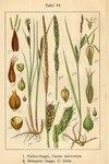 "Faden-Segge - Carex lasiocarpa; Bildquelle: <a href=""https://www.pflanzen-deutschland.de/quellen.php?bild_quelle=Deutschlands Flora in Abbildungen 1796"">Deutschlands Flora in Abbildungen 1796</a>; Bildlizenz: <a href=""https://creativecommons.org/licenses/publicdomain/deed.de"" target=_blank title=""Public Domain"">Public Domain</a>;"