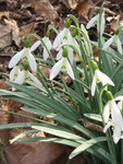 "Schneeglöckchen - Galanthus nivalis; Bildquelle: <a href=""https://www.pflanzen-deutschland.de/quellen.php?bild_quelle=Wikipedia User Meneerke bloem"">Wikipedia User Meneerke bloem</a>; Bildlizenz: <a href=""https://creativecommons.org/licenses/by-sa/3.0/deed.de"" target=_blank title=""Namensnennung - Weitergabe unter gleichen Bedingungen 3.0 Unported (CC BY-SA 3.0)"">CC BY-SA 3.0</a>; <br>Wiki Commons Bildbeschreibung: <a href=""https://commons.wikimedia.org/wiki/File:Galanthus_nivalis005.jpg"" target=_blank title=""https://commons.wikimedia.org/wiki/File:Galanthus_nivalis005.jpg"">https://commons.wikimedia.org/wiki/File:Galanthus_nivalis005.jpg</a>"