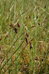 "Schlamm-Segge - Carex limosa; Bildquelle: <a href=""https://www.pflanzen-deutschland.de/quellen.php?bild_quelle=Wikipedia User Patrice77"">Wikipedia User Patrice77</a>; Bildlizenz: <a href=""https://creativecommons.org/licenses/by-sa/3.0/deed.de"" target=_blank title=""Namensnennung - Weitergabe unter gleichen Bedingungen 3.0 Unported (CC BY-SA 3.0)"">CC BY-SA 3.0</a>; <br>Wiki Commons Bildbeschreibung: <a href=""https://commons.wikimedia.org/wiki/File:Carex_limosa110.jpg"" target=_blank title=""https://commons.wikimedia.org/wiki/File:Carex_limosa110.jpg"">https://commons.wikimedia.org/wiki/File:Carex_limosa110.jpg</a>"