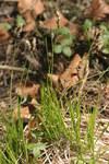 """Berg-Segge - Carex montana; Bildquelle: <a href=""""https://www.pflanzen-deutschland.de/quellen.php?bild_quelle=Wikipedia User HermannSchachner"""">Wikipedia User HermannSchachner</a>; Bildlizenz: <a href=""""https://creativecommons.org/licenses/publicdomain/deed.de"""" target=_blank title=""""Public Domain"""">Public Domain</a>;"""