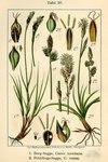 """Berg-Segge - Carex montana; Bildquelle: <a href=""""https://www.pflanzen-deutschland.de/quellen.php?bild_quelle=Deutschlands Flora in Abbildungen 1796"""">Deutschlands Flora in Abbildungen 1796</a>; Bildlizenz: <a href=""""https://creativecommons.org/licenses/publicdomain/deed.de"""" target=_blank title=""""Public Domain"""">Public Domain</a>;"""