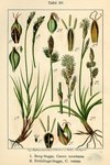 "Berg-Segge - Carex montana; Bildquelle: <a href=""https://www.pflanzen-deutschland.de/quellen.php?bild_quelle=Deutschlands Flora in Abbildungen, Johann Georg Sturm 1796"">Deutschlands Flora in Abbildungen, Johann Georg Sturm 1796</a>; Bildlizenz: <a href=""https://creativecommons.org/licenses/publicdomain/deed.de"" target=_blank title=""Public Domain"">Public Domain</a>;"