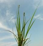 """Sparrige Segge - Carex muricata; Bildquelle: <a href=""""https://www.pflanzen-deutschland.de/quellen.php?bild_quelle=Wikipedia User Rasbak"""">Wikipedia User Rasbak</a>; Bildlizenz: <a href=""""https://creativecommons.org/licenses/by-sa/3.0/deed.de"""" target=_blank title=""""Namensnennung - Weitergabe unter gleichen Bedingungen 3.0 Unported (CC BY-SA 3.0)"""">CC BY-SA 3.0</a>; <br>Wiki Commons Bildbeschreibung: <a href=""""https://commons.wikimedia.org/wiki/File:Carex_muricata_inflorescens_(14).jpg"""" target=_blank title=""""https://commons.wikimedia.org/wiki/File:Carex_muricata_inflorescens_(14).jpg"""">https://commons.wikimedia.org/wiki/File:Carex_muricata_inflorescens_(14).jpg</a>"""